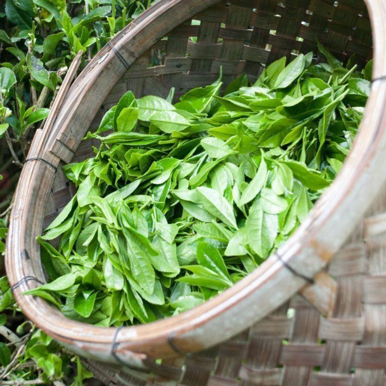 Traditionally Hand-picked Mandokoro Sencha