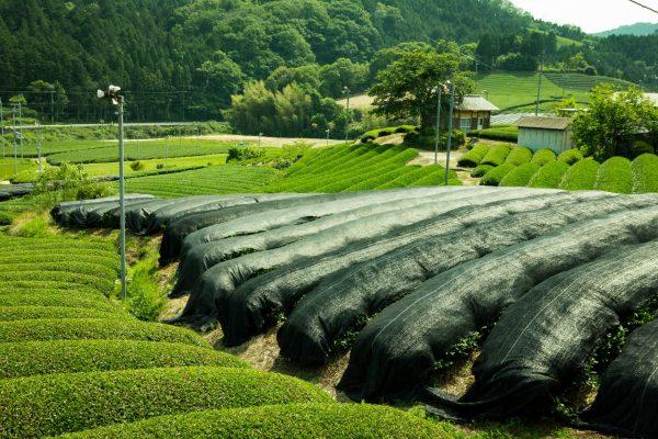 Tea-fields-11