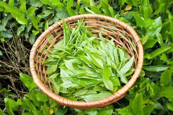 Tea-leaves-1