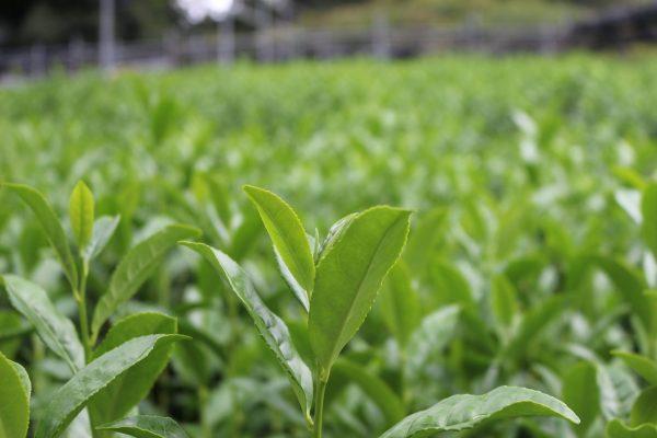 Tea-leaves-3