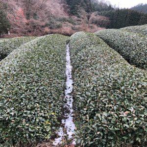 Uji-tawara Organic Gyokuro