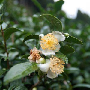 Mandokoro Native tea bush tea flower