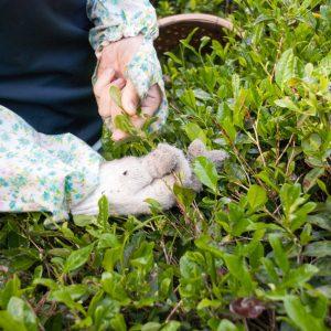 Hand-picking in Mandokoro