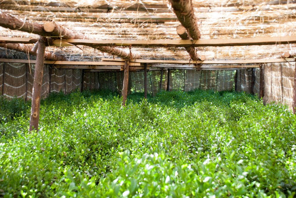 Straw covering tea garden