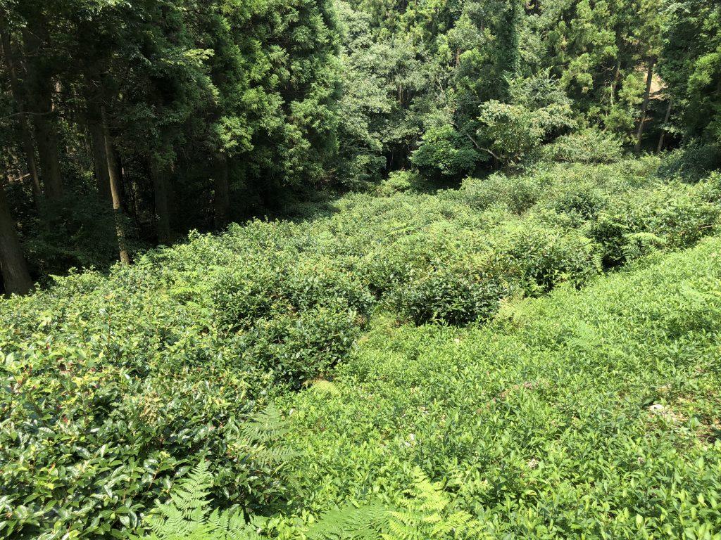wild kumamoto tea bushes