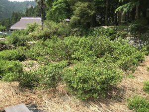 300 year old Mandokoro native tea bush