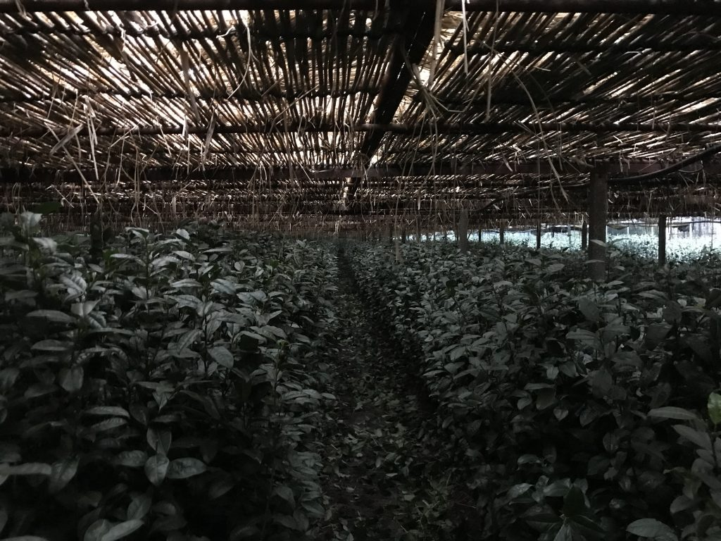 Shade grown tea straw canopy