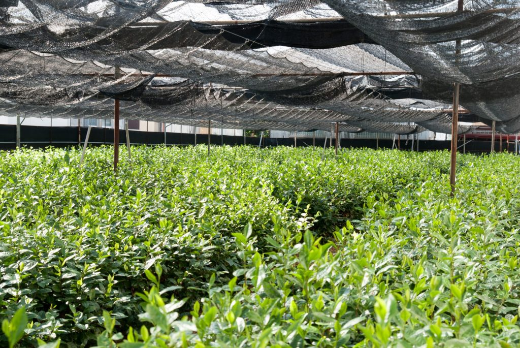 dual layer shade grown tea