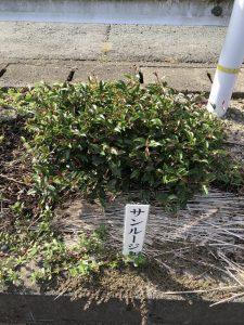 Sunrouge tea plant variety