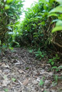 healthy tea garden soil