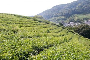 natural tea farming
