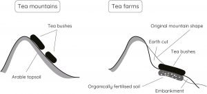 tea mountain vs. tea farm