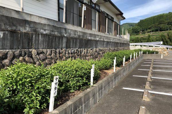Japanese tea cultivars